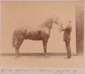 Deze Groninger hengst is geboren in 1882 en gefokt door Derk Luitjes Broekema (foto v.d. Vereniging Het Groninger Paard)